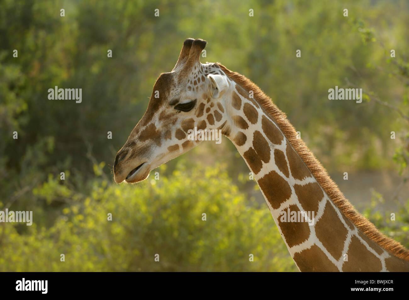 Head of an adult giraffe (Giraffa camelopardalis) against Acacia thorn on Sir Bani Yas Island, UAE - Stock Image