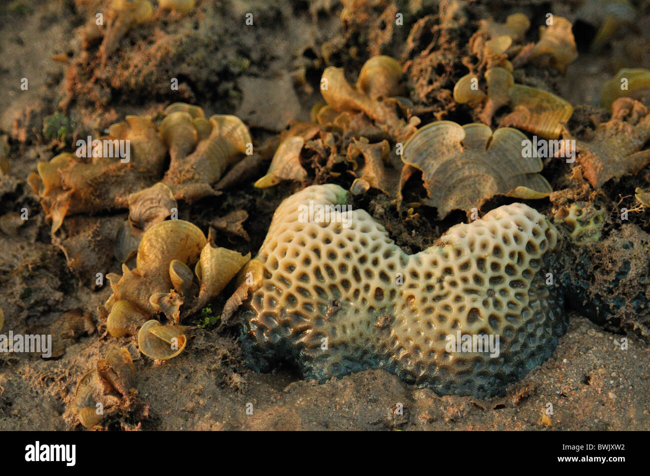 Stony Coral Porites solida on the Gilimanuk beach, Bali, Indonesia, Asia, Indo-pacific Ocean - Stock Image