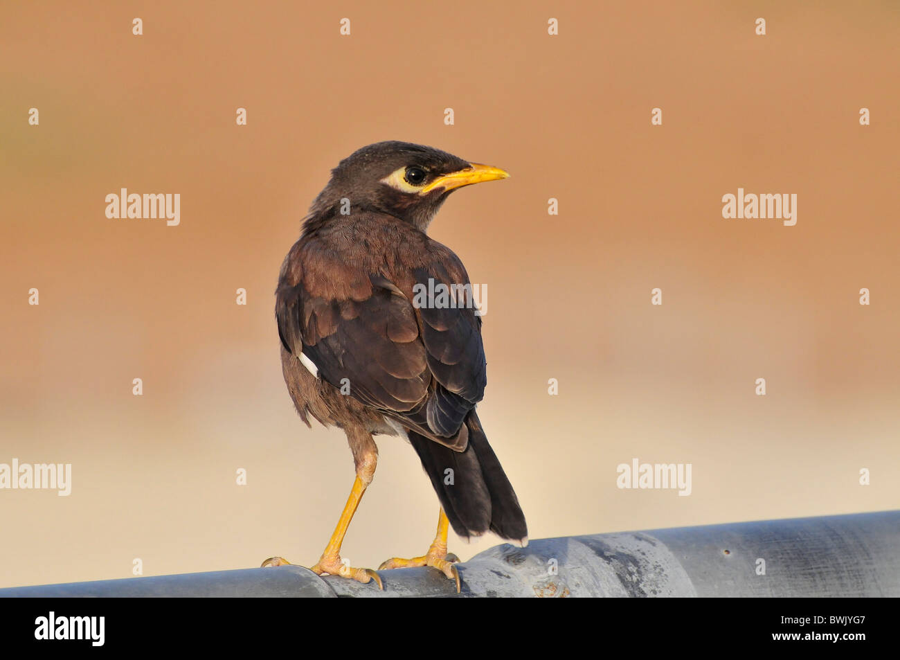 Common myna (or Indian Myna Acridotheres tristis). - Stock Image