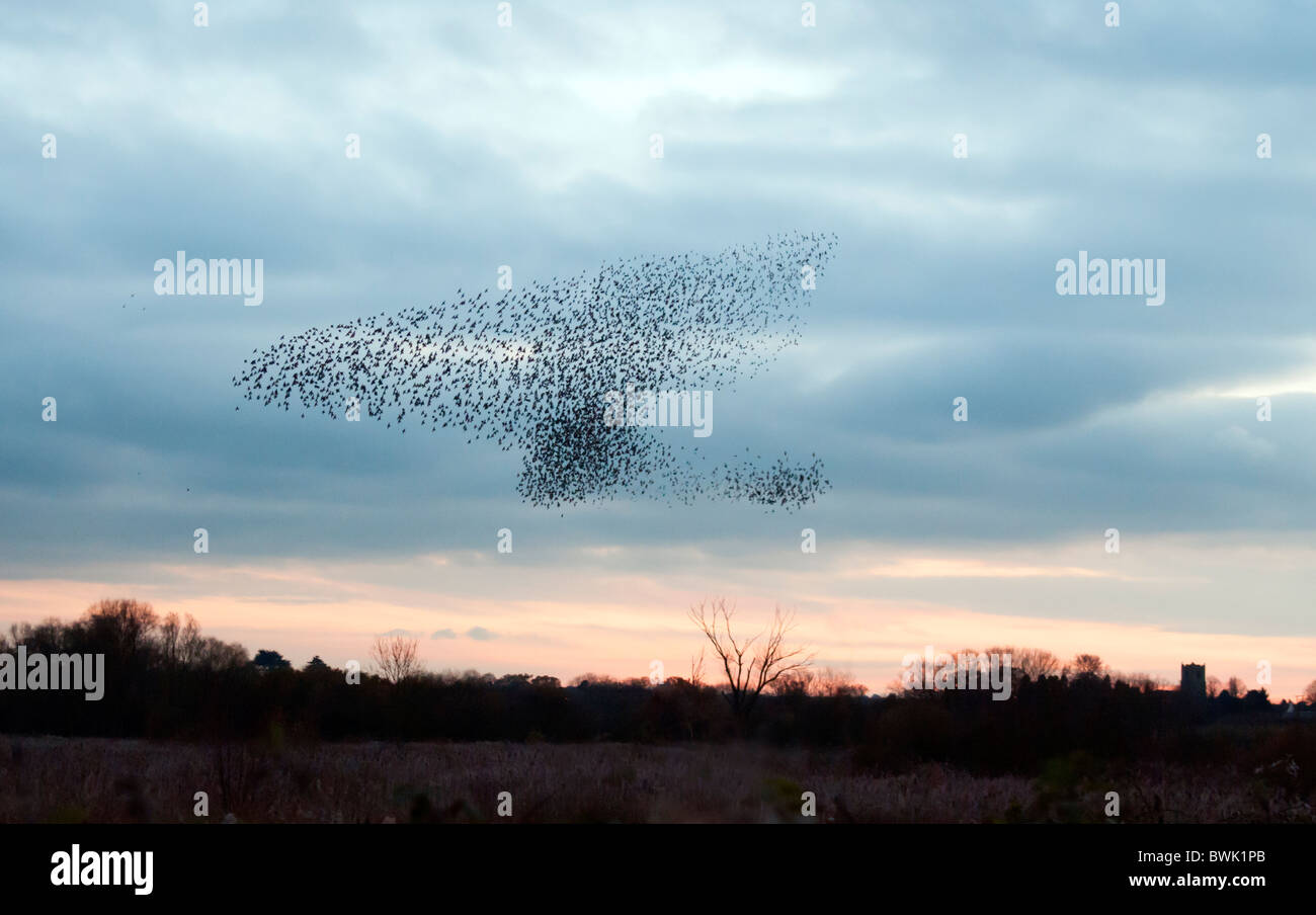 Murmuration exaltation, a starling flock forms a fantastic acrobatic mass before roosting at Brandon Marsh Warwickshire Stock Photo