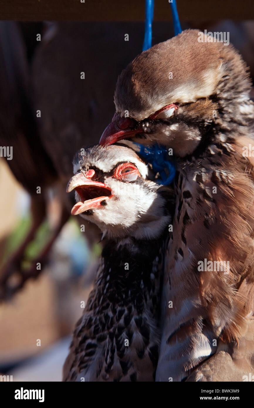 Partridges shot dead on a game bird shoot, Cambridgeshire, UK - Stock Image
