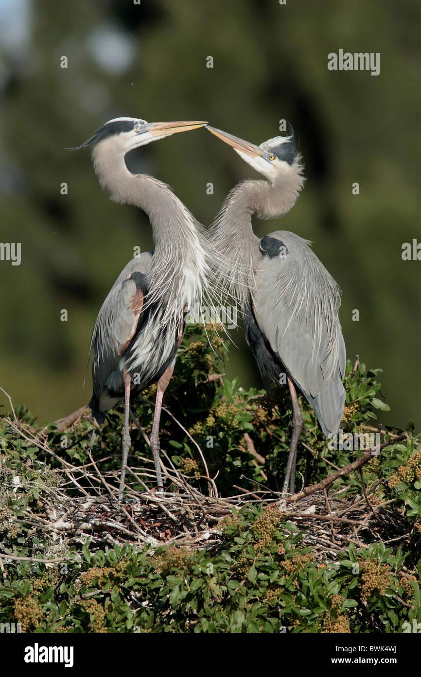 Canada heron Ardea herodias Couple nest courtship display mating season birds bird heron USA America United Stock Photo
