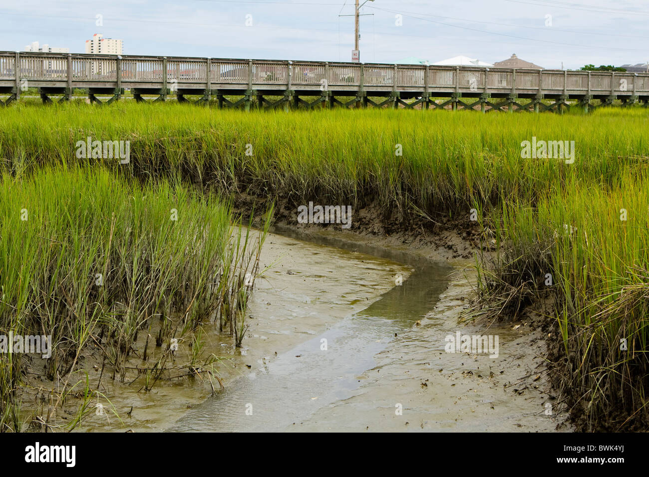 Tall Smooth Cordgrass grasses abound in the muddy saltwater marsh ...