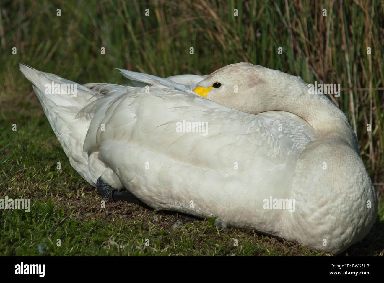 Bewick Swan resting head in feathers Cygnus Columbianus Stock Photo