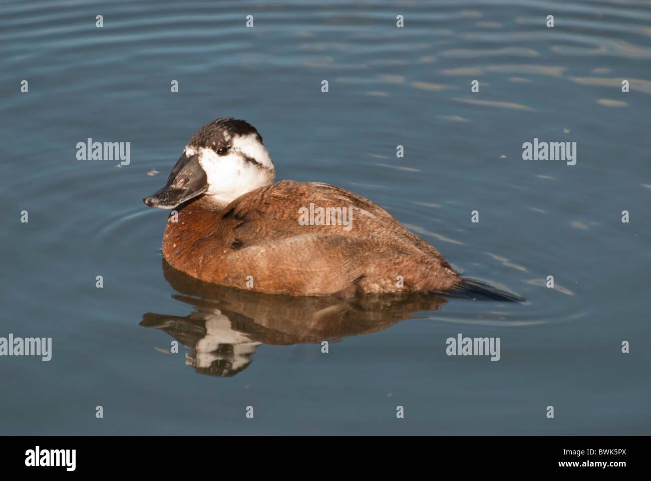 Ruddy Duck female Oxyura Jamaicensis Family Anatidae - Stock Image
