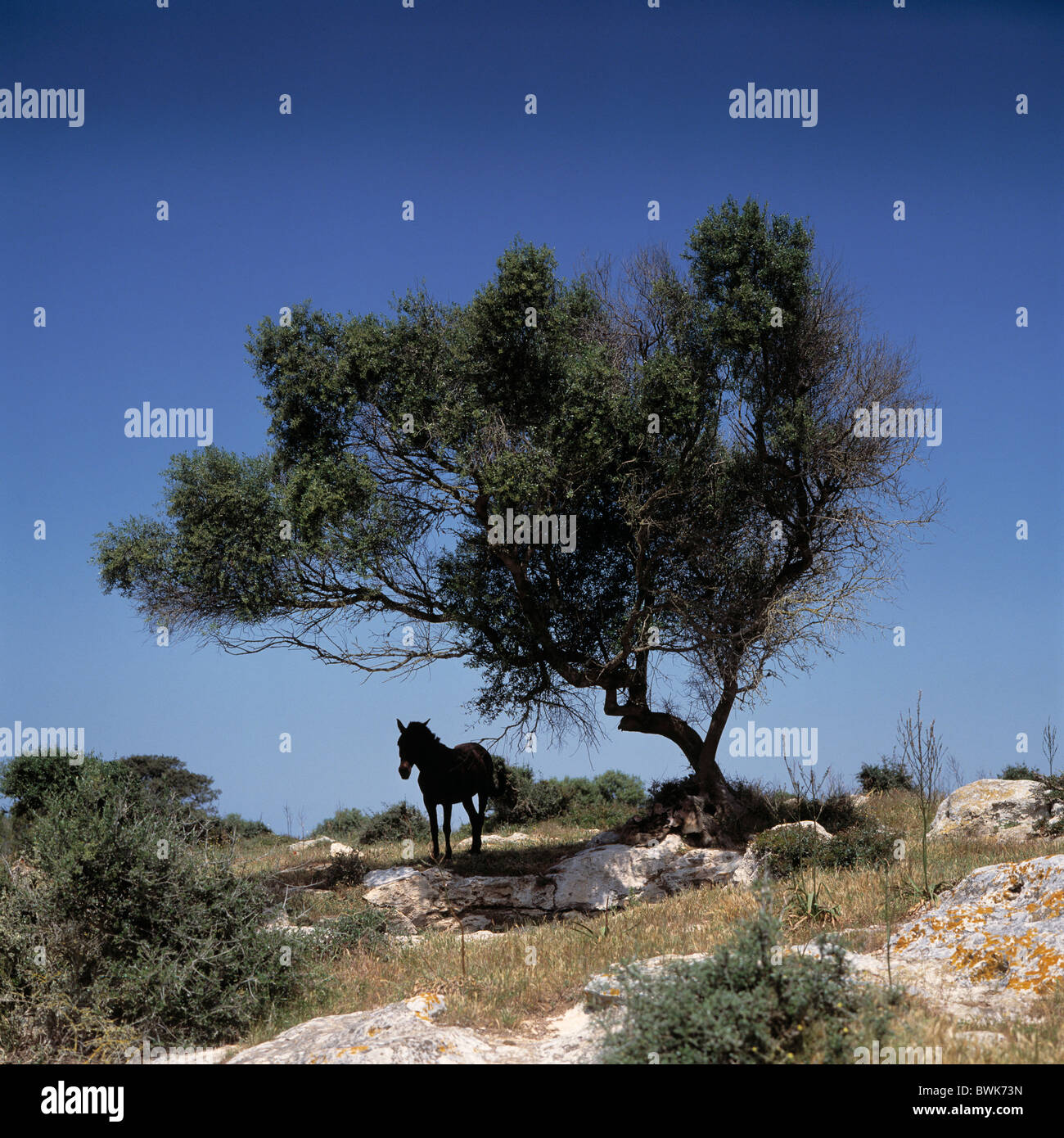 horse tree protection sun sun protection animals animal south shade midday heat midday sun rock scenery Me - Stock Image