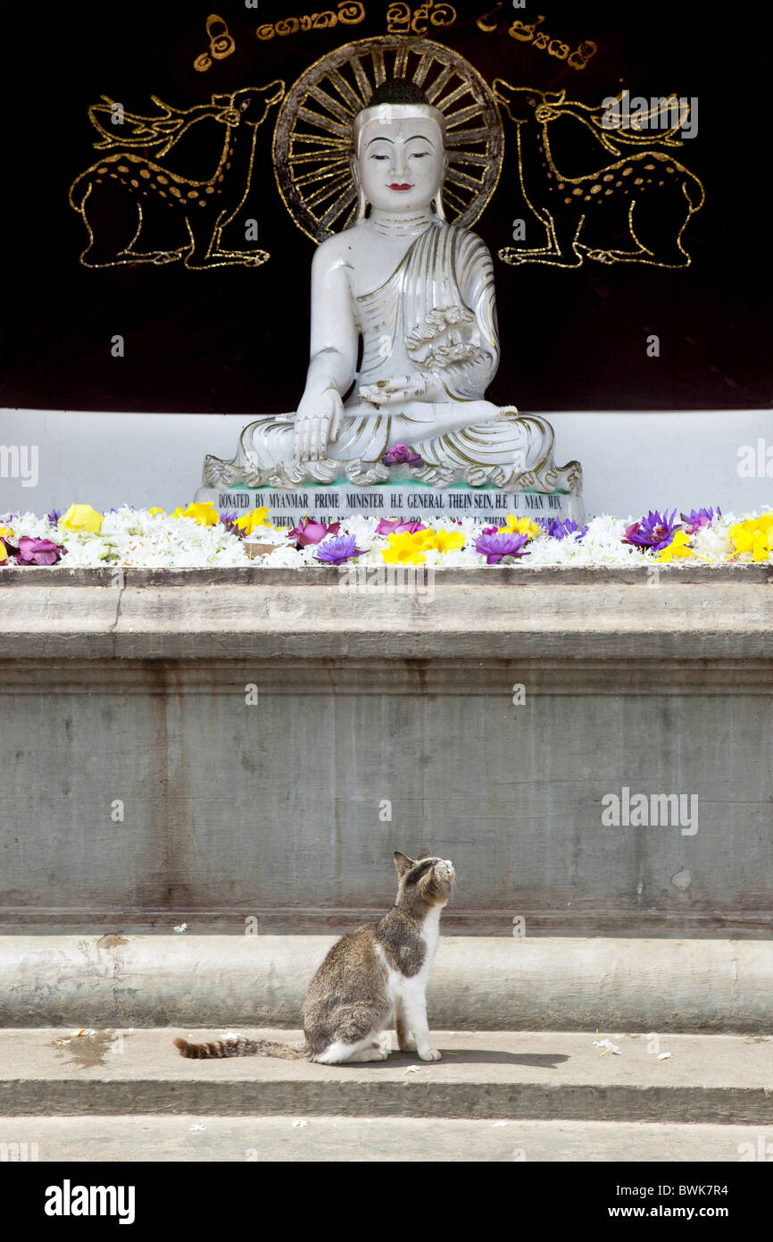 Cat looking at with flower offerings considered Buddha statue at the Ruvanveli Dagoba, Maha Vihara temple, Sacred - Stock Image