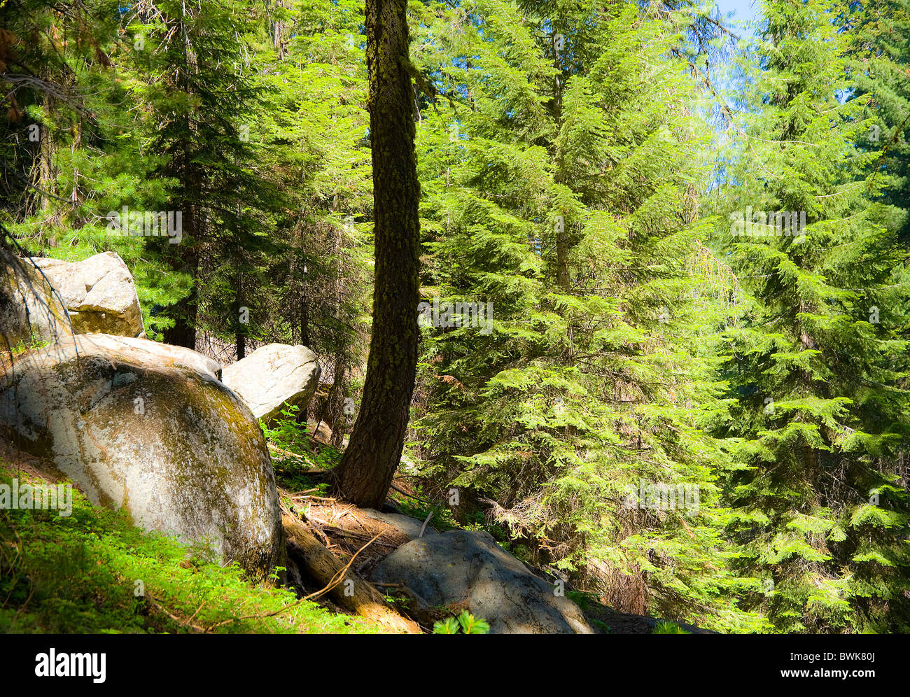 Sequoia National Park trees woods fir spruces stones rocks tranquility - Stock Image