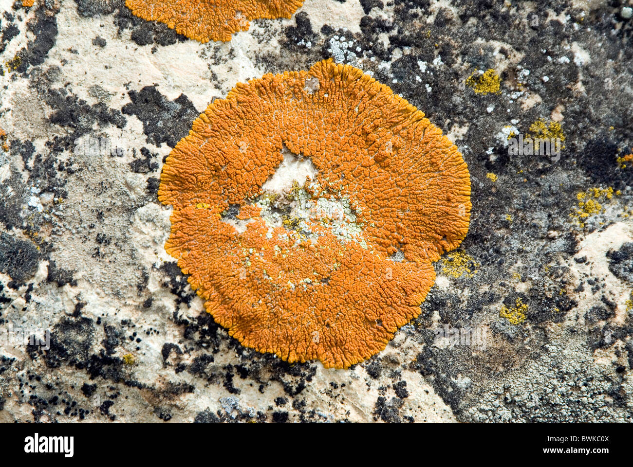 lichen lichens stone cliff pattern sample draft plan - Stock Image
