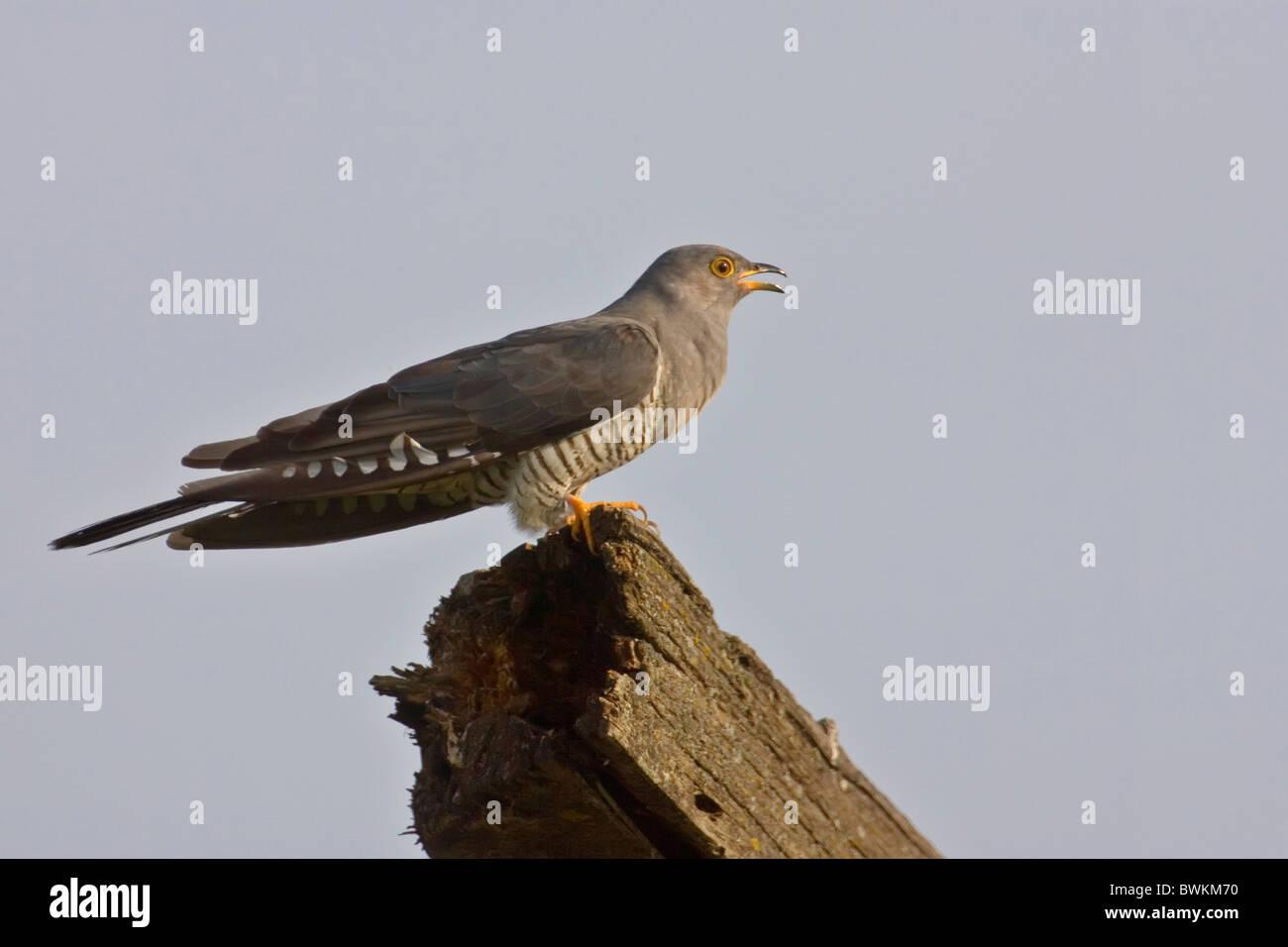 cuckoo - Stock Image