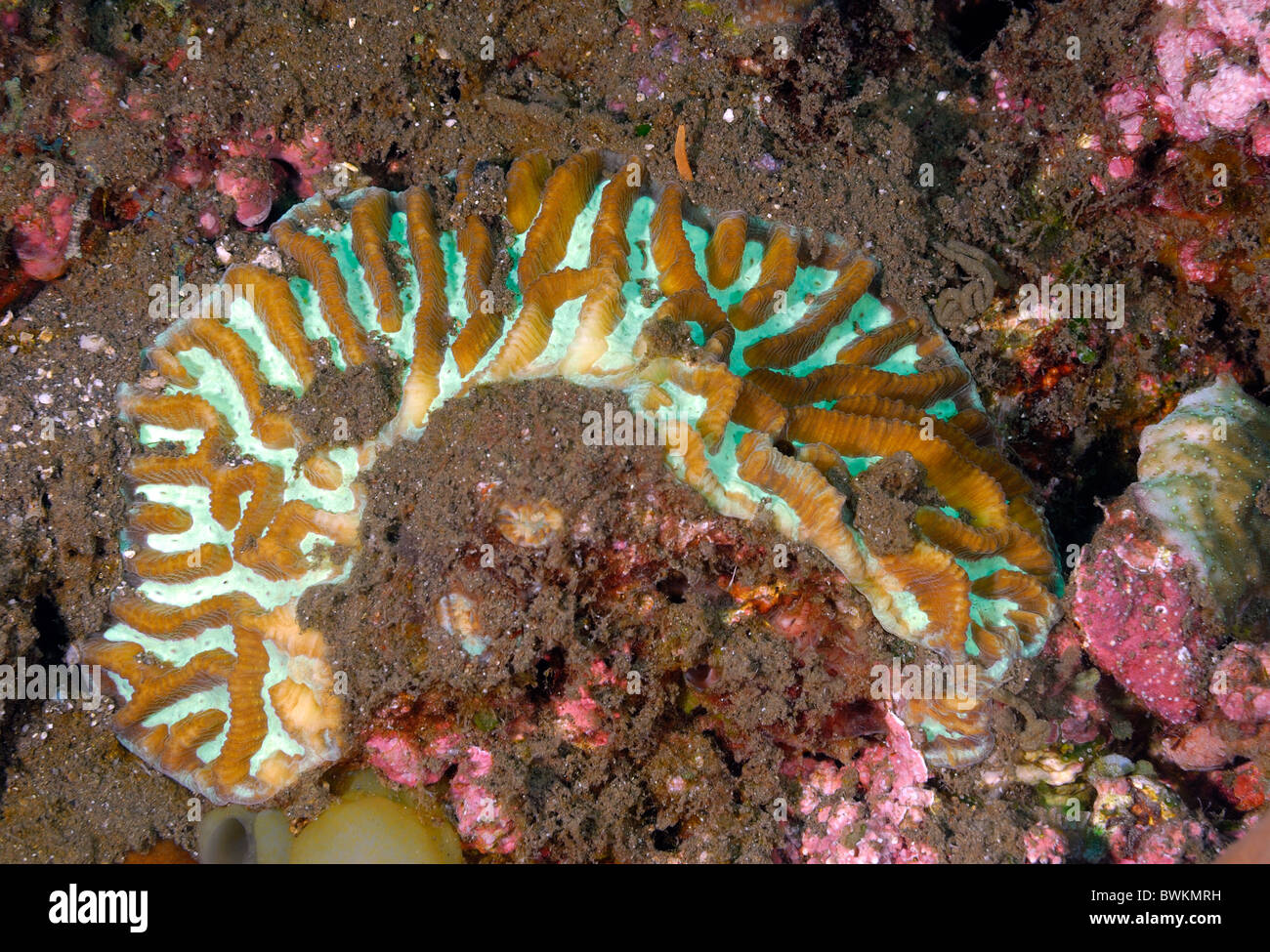 Brain Star Coral Goniastrea sp.,, Tulamben, Bali, Indonesia, Indo-Pacific Ocean - Stock Image
