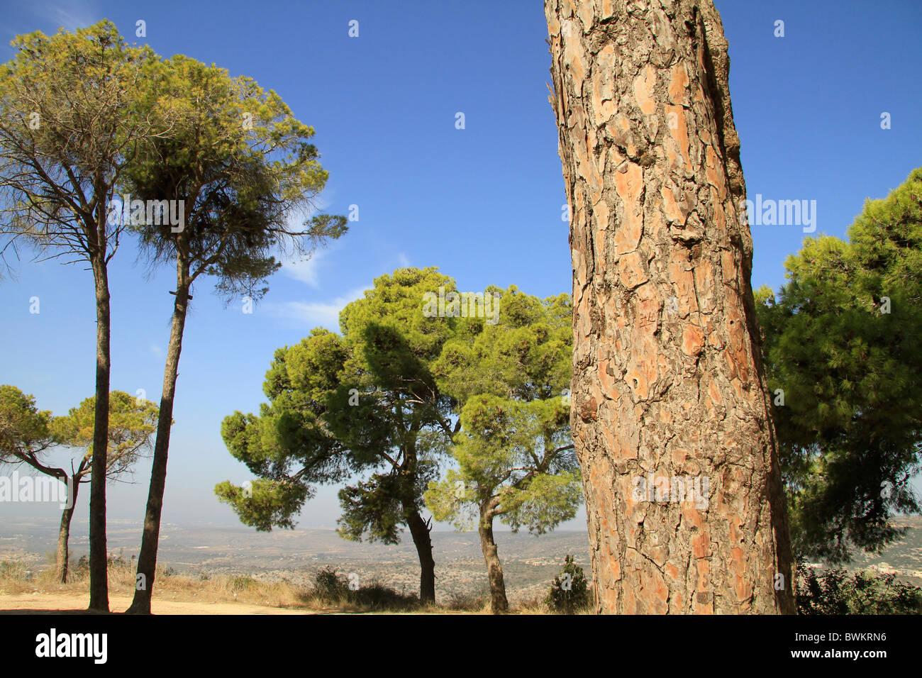 Iarael, Upper Galilee, Stone Pine (Pinus Pinea) in Yirka - Stock Image