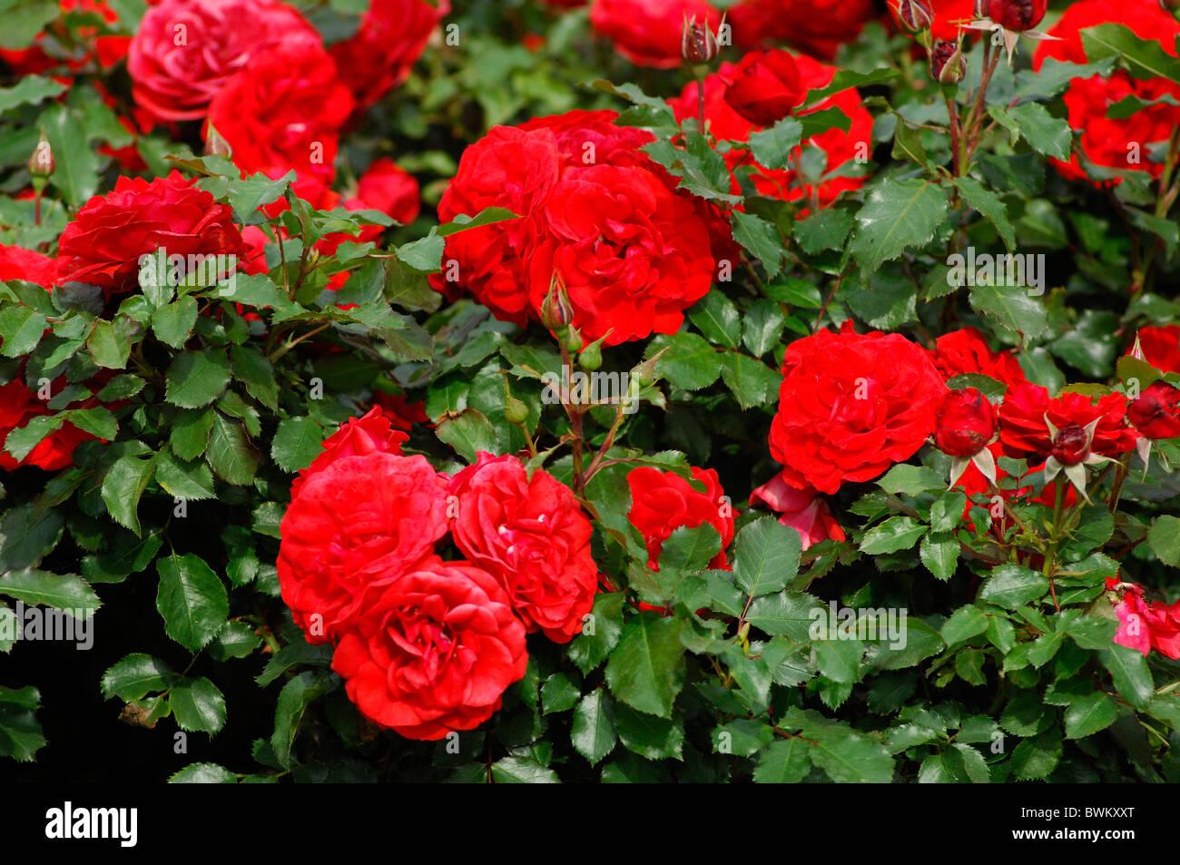 Roses In Garden: Red Roses UK London Queen Mary Garden Regent Park Great