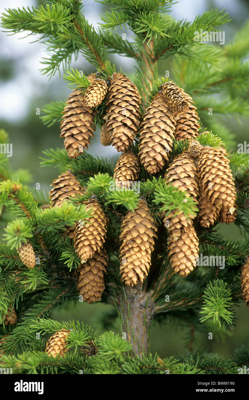Common Spruce, Norway Spruce (Picea abies), twigs with cones. - Stock Image