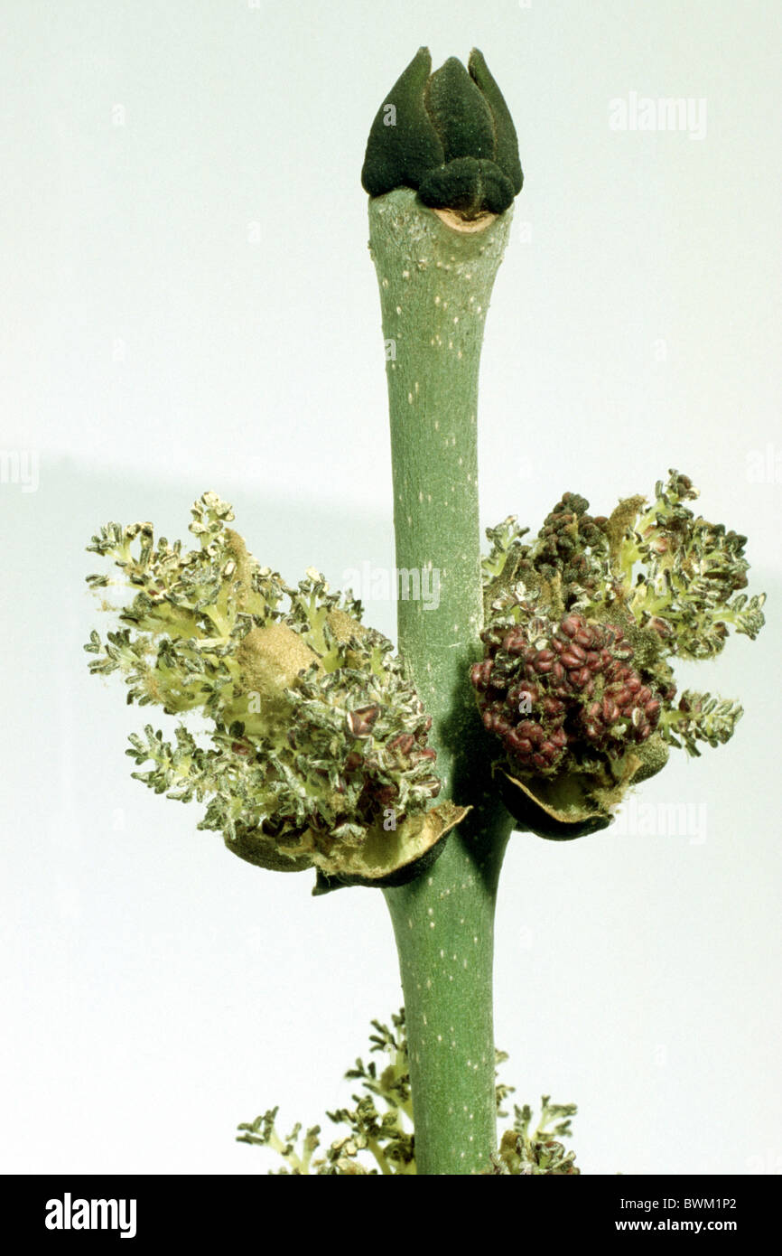 Common Ash, European Ash (Fraxinus excelsior), twig with buds and blossoms, studio picture. - Stock Image