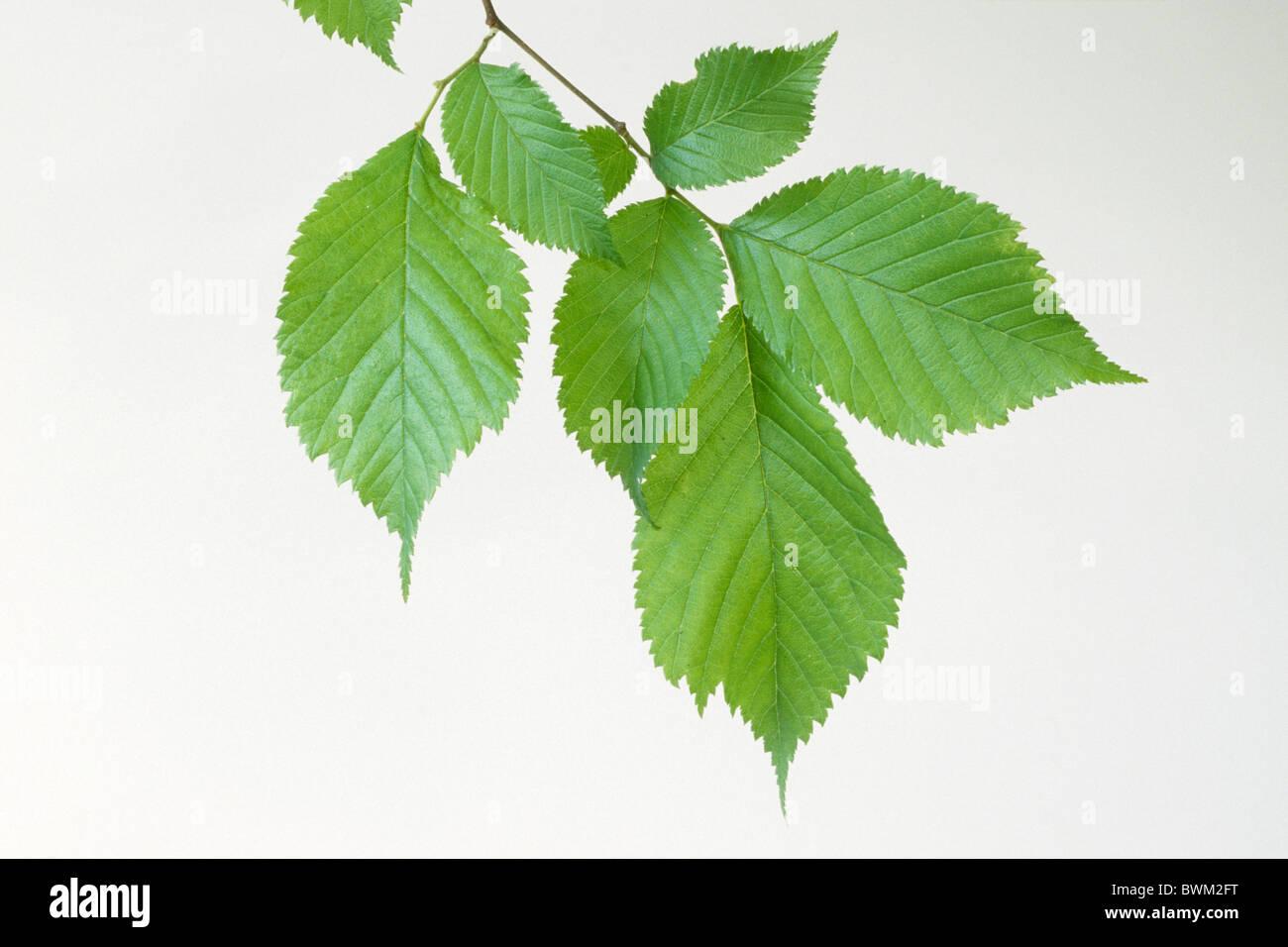 European Field Elm (Ulmus minor), twig with leaves, studio picture. - Stock Image