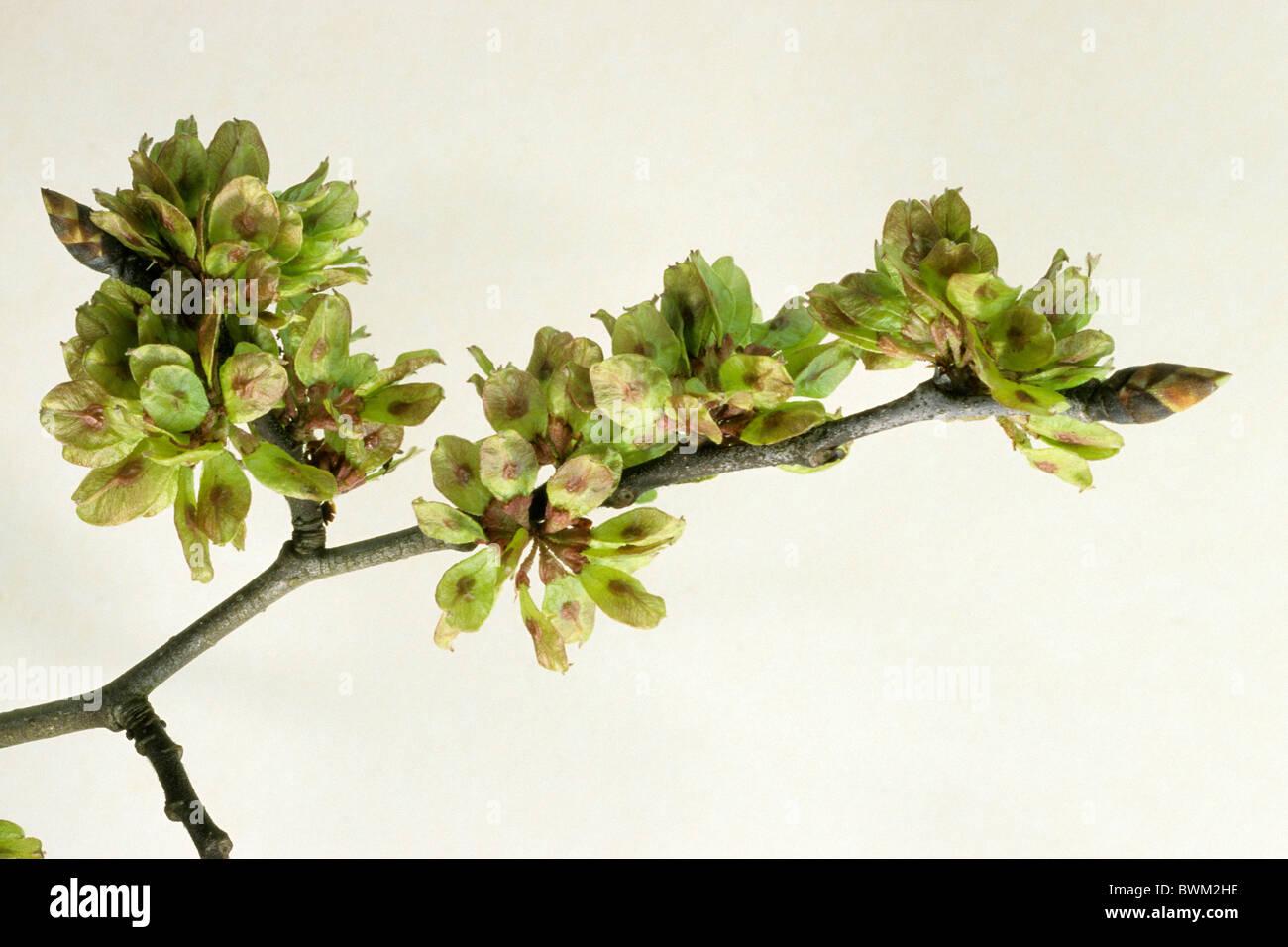 European Field Elm (Ulmus minor), twig with fruit, studio picture. - Stock Image