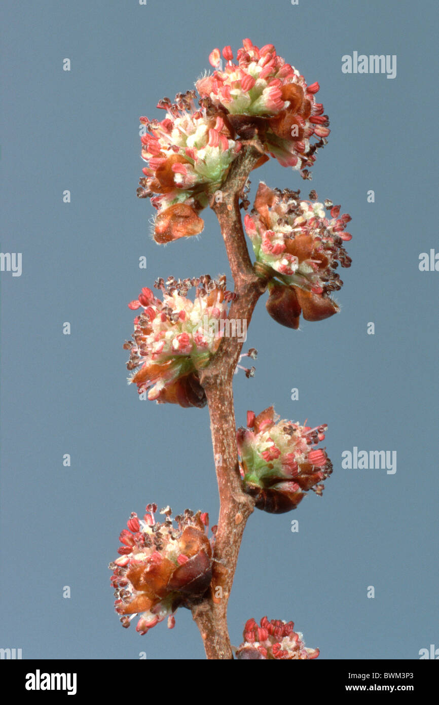 European Field Elm (Ulmus minor), flowering twig, studio picture. - Stock Image