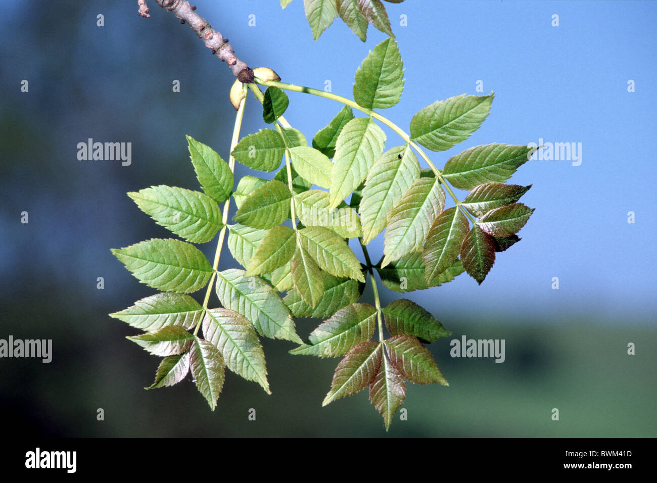 Common Ash, European Ash (Fraxinus excelsior), twig with leaves. - Stock Image