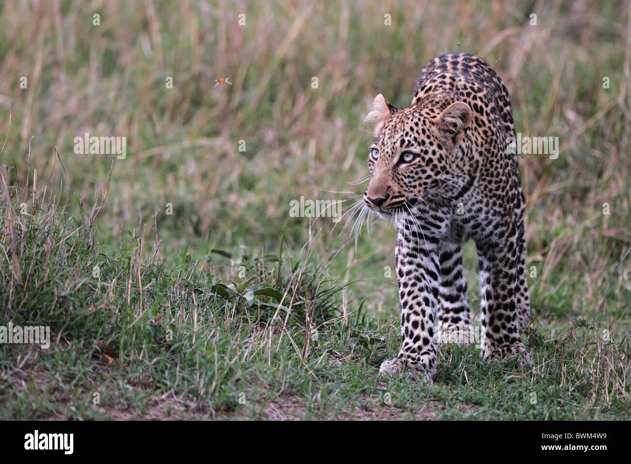 Leopard walking through higher grass, Masai Mara Game Reserve, Kenya. butterfly, looking-up, watching, lustig, komisch Stock Photo