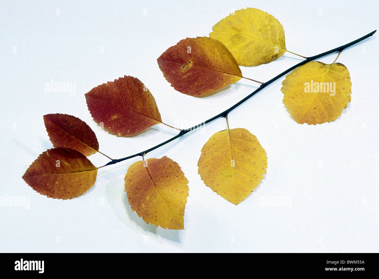 European Serviceberry, Snowy Mespillus (Amelanchier ovalis), twig with autumn leaves, studio picture. Stock Photo