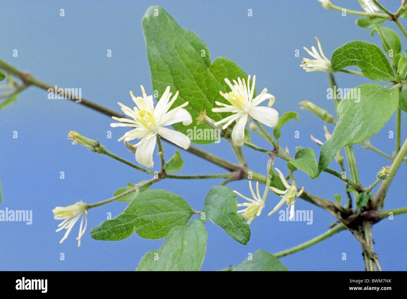 Old Mans Beard, Travellers Joy (Clematis vitalba), flowering. - Stock Image