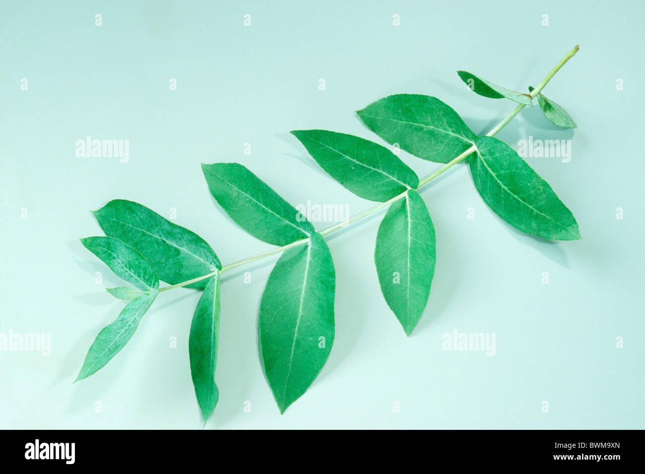 Tasmanian Blue Gum, Blue Gum Eucalyptus (Eucalyptus globulus), twig with leaves, studio picture. - Stock Image