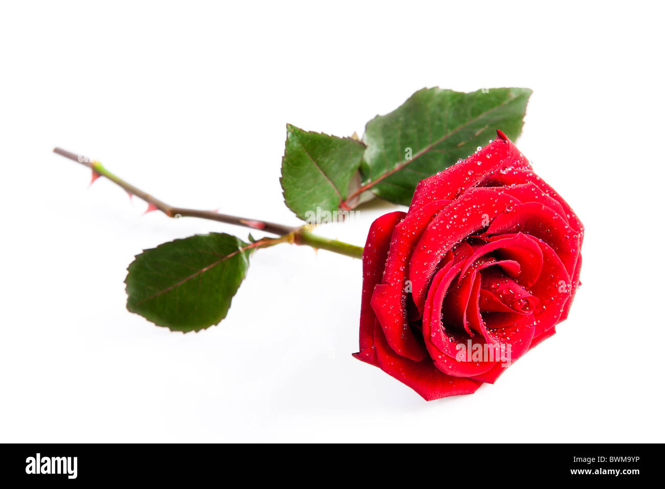 Single Red Rose on a white background - Stock Image