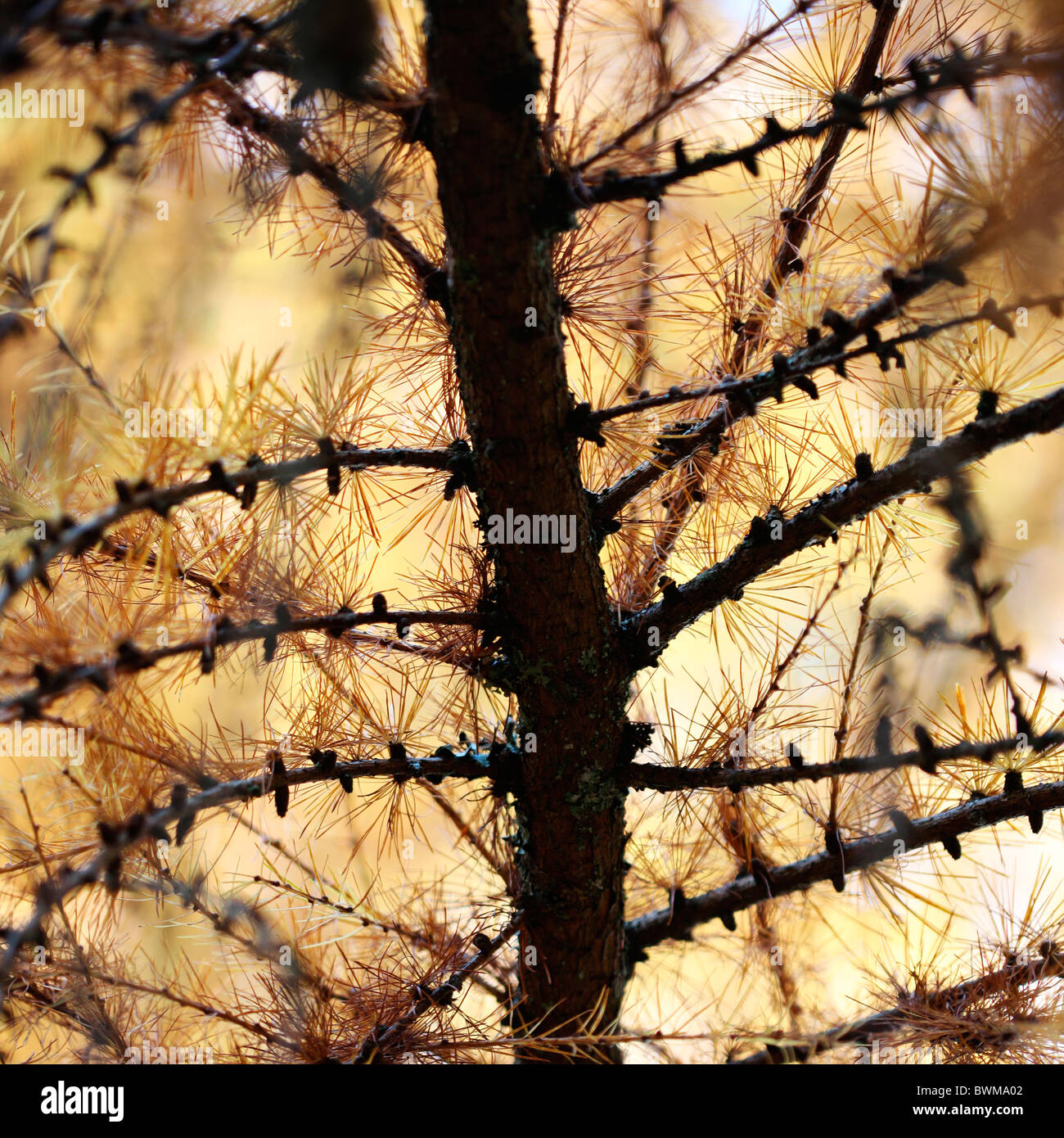 european larch tree in autumn - fine art photography Jane-Ann Butler Photography JABP929 - Stock Image