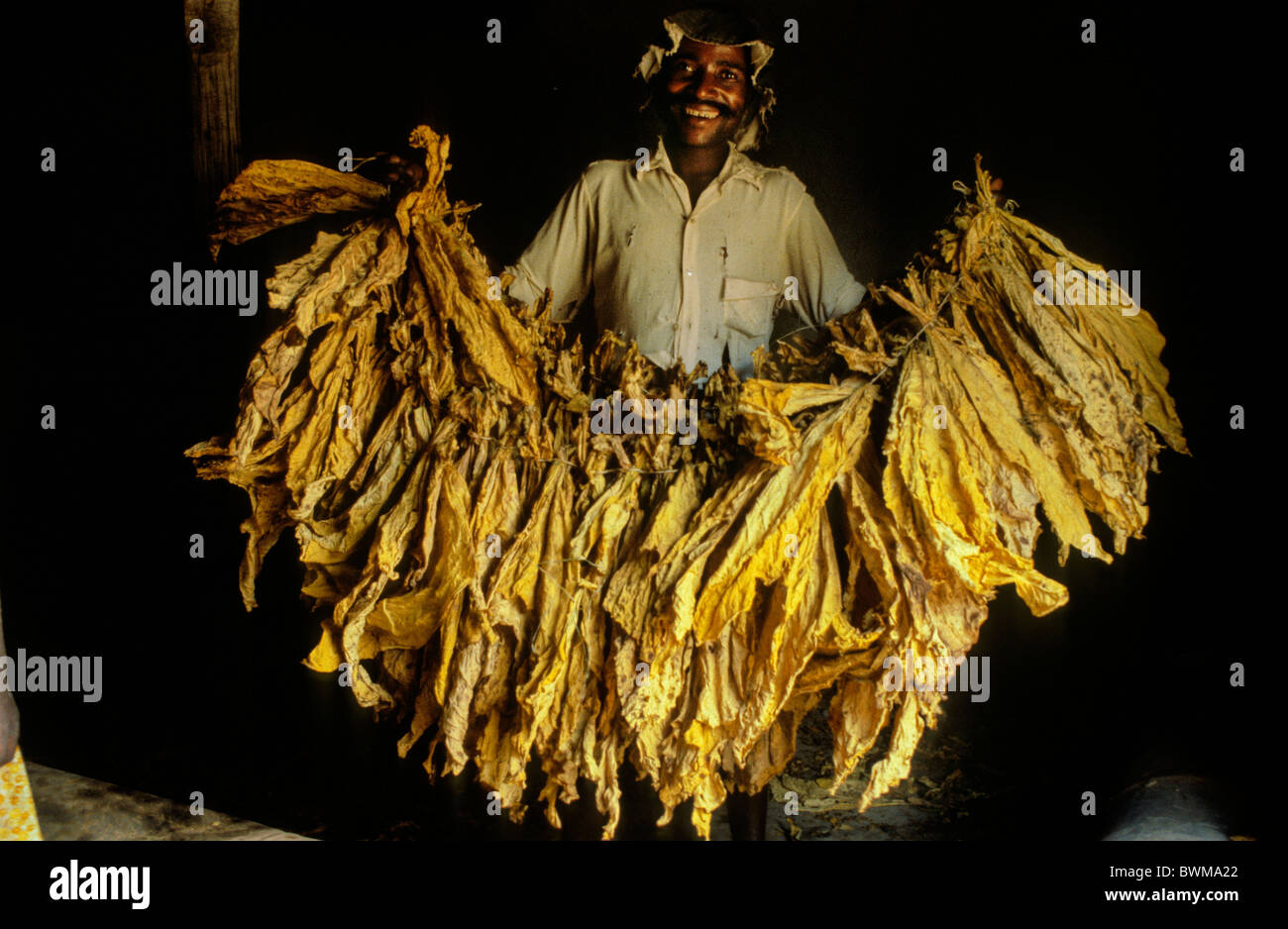 Zimbabwe. Tobacco farm worker near Udzi in the east of the country- when Zimbabwe was Rhodesia during transition - Stock Image