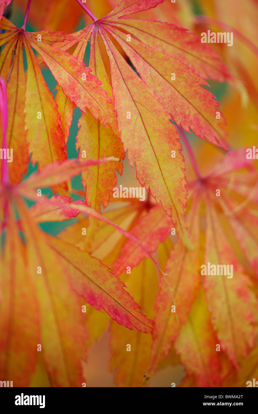 colourful koto no ito japanese maple in the fall Jane-Ann Butler Photography JABP928 - Stock Image