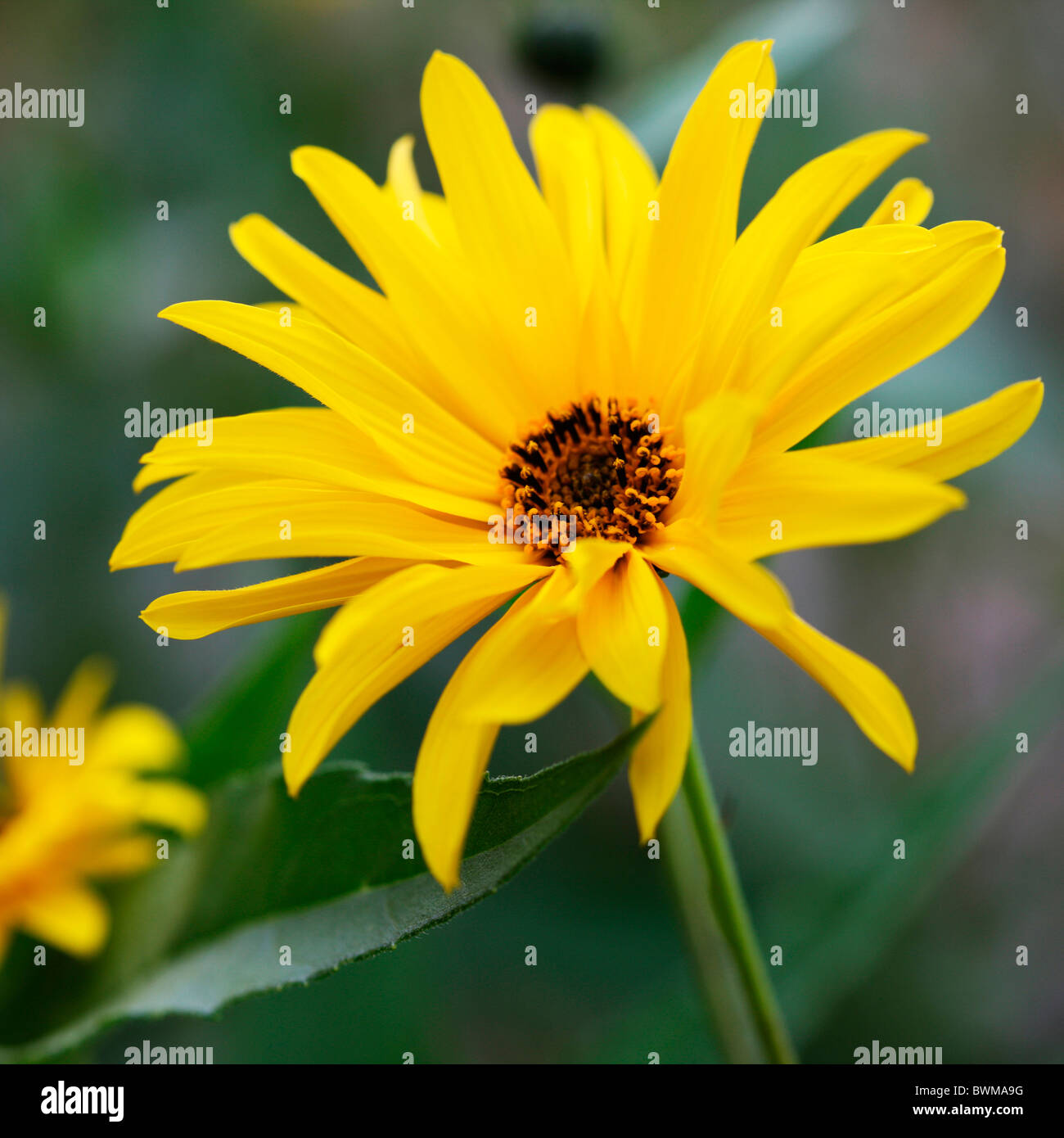 sweet and lovely yellow chrysanthemum Jane-Ann Butler Photography JABP924 - Stock Image