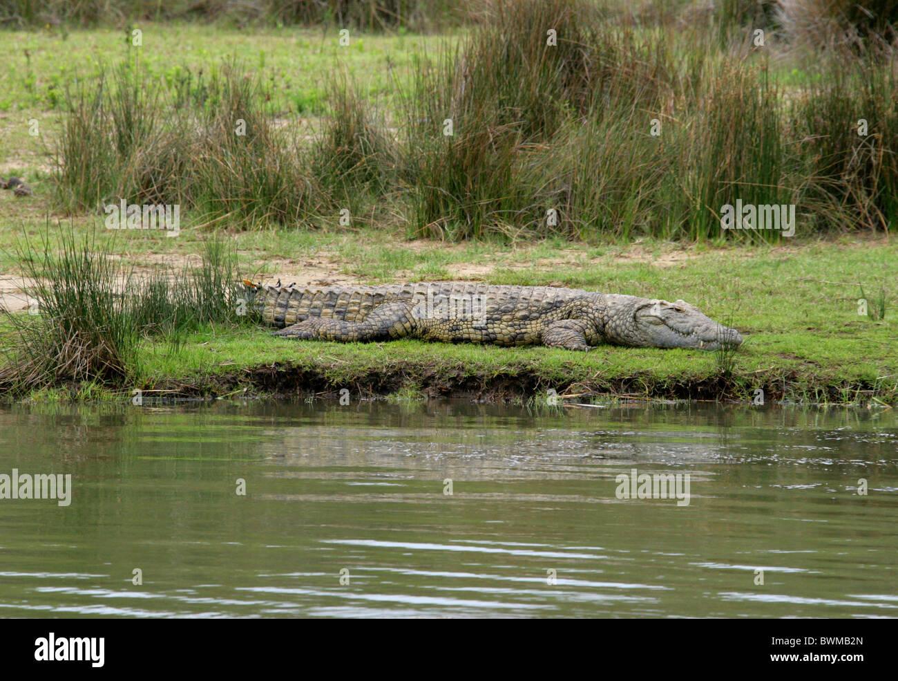 Nile Crocodile, Crocodylus niloticus, Crocodylidae. St Lucia Wetlands Park, KwaZulu Natal, South Africa. - Stock Image