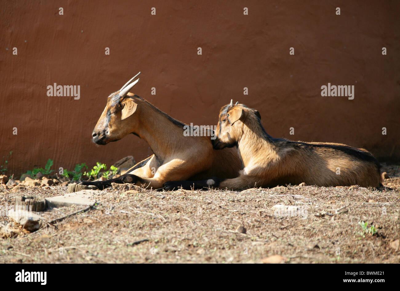 Kalahari Red Goats, Nanny and Kid, Shakaland Zulu Village, Nkwalini Valley, Kwazulu Natal, South Africa. - Stock Image