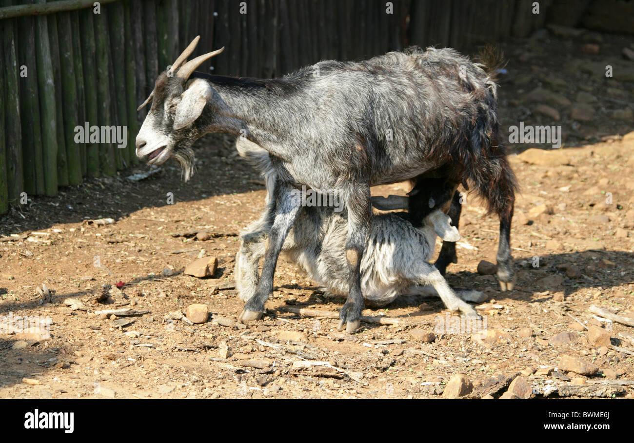 Nanny Goat Suckling Kid, Shakaland Zulu Village, Nkwalini Valley, Kwazulu Natal, South Africa. - Stock Image