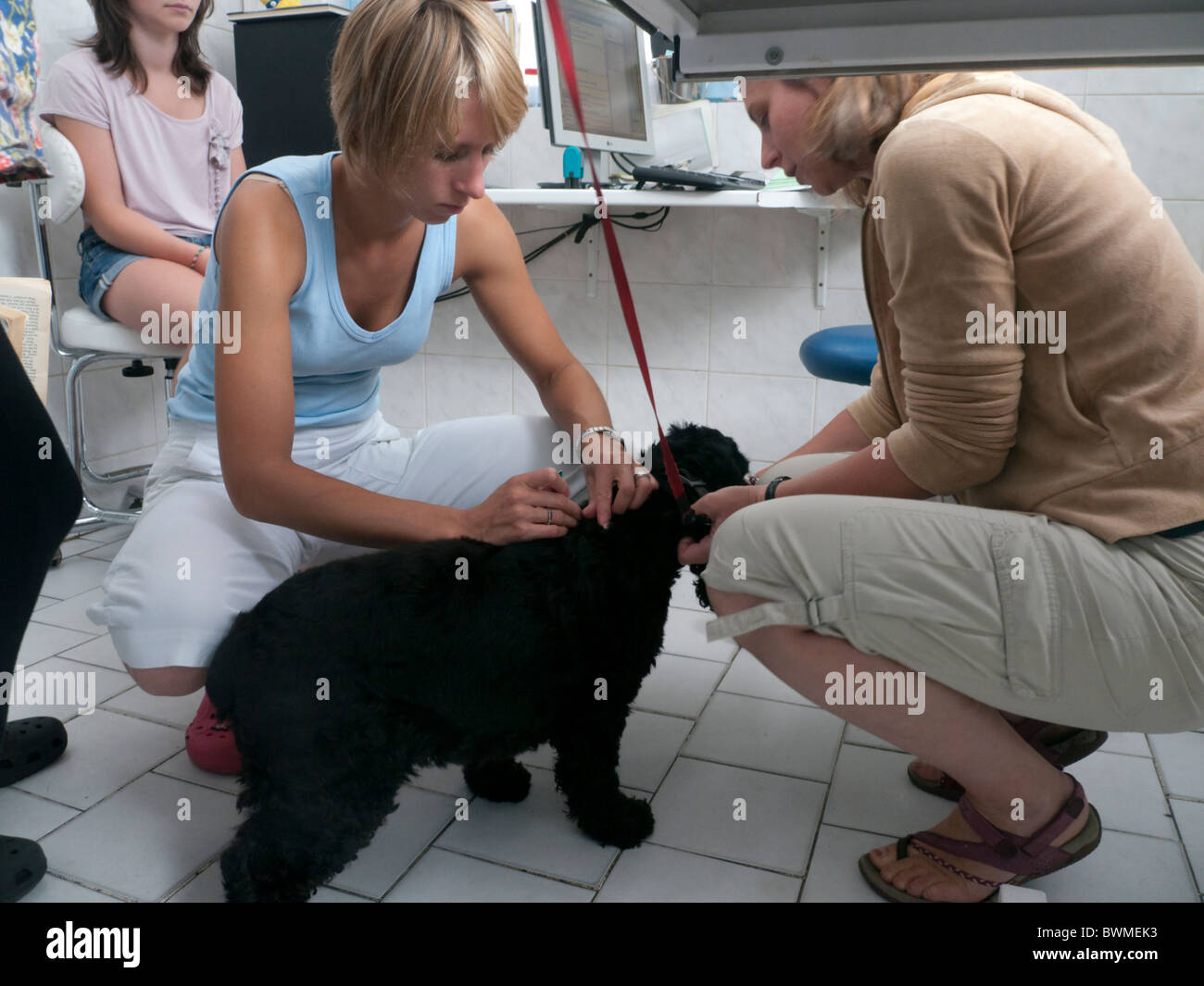 Cocker Spaniel at Vet surgery in Prague preparing for return to Britain - Stock Image