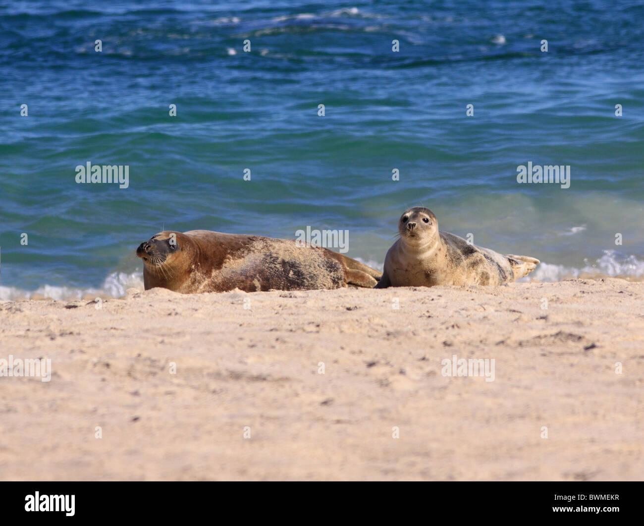 UK Scotland Hebridean Islands Common Seals on sandy beach - Stock Image