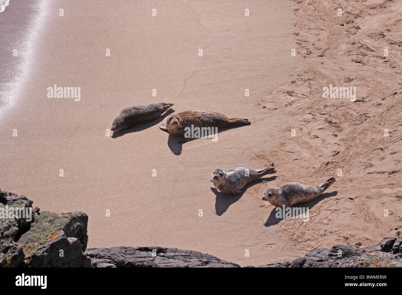 UK Scotland Outer Hebrides Common Seals on sandy beach Stock Photo