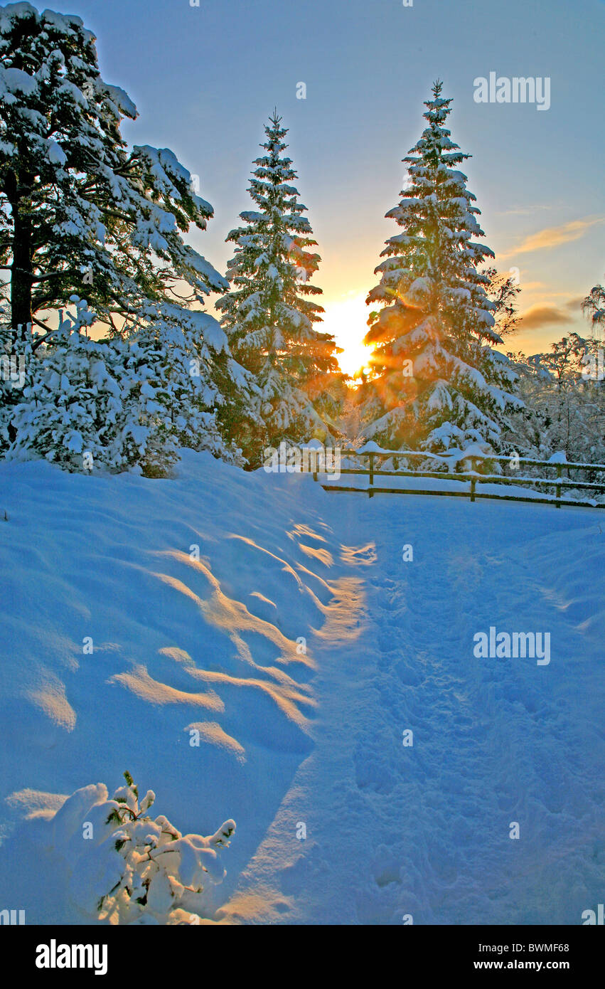 UK SCotland Inverness-shire Highlands Glenmore Forest Fir Trees at sunset - Stock Image