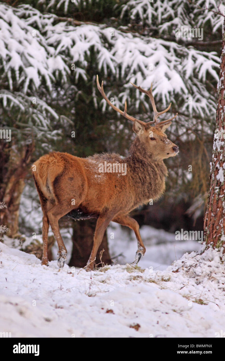 Red Deer Stag in forest during winter - Stock Image