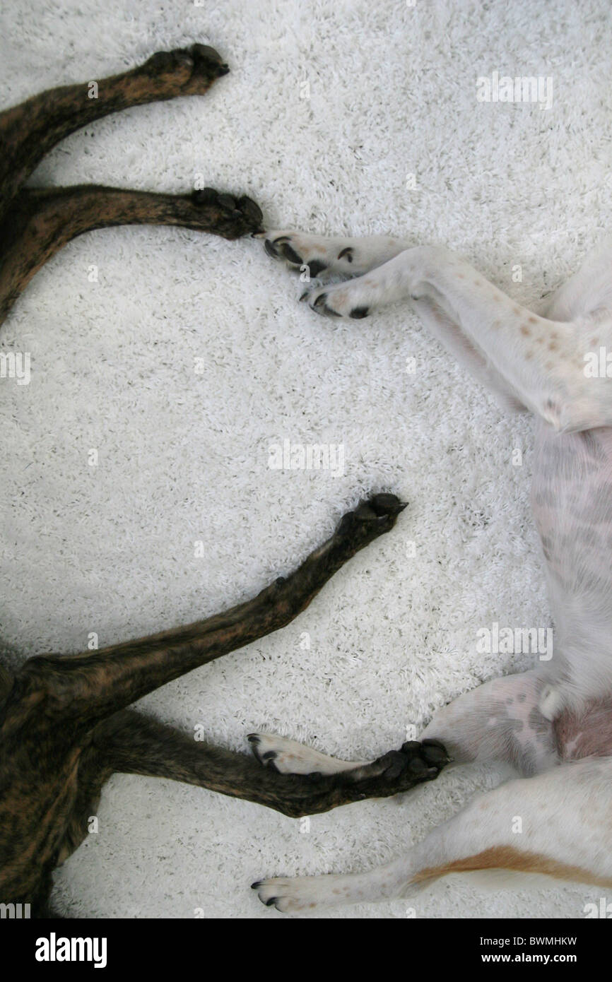 The legs of two dogs lying next to each other. - Stock Image