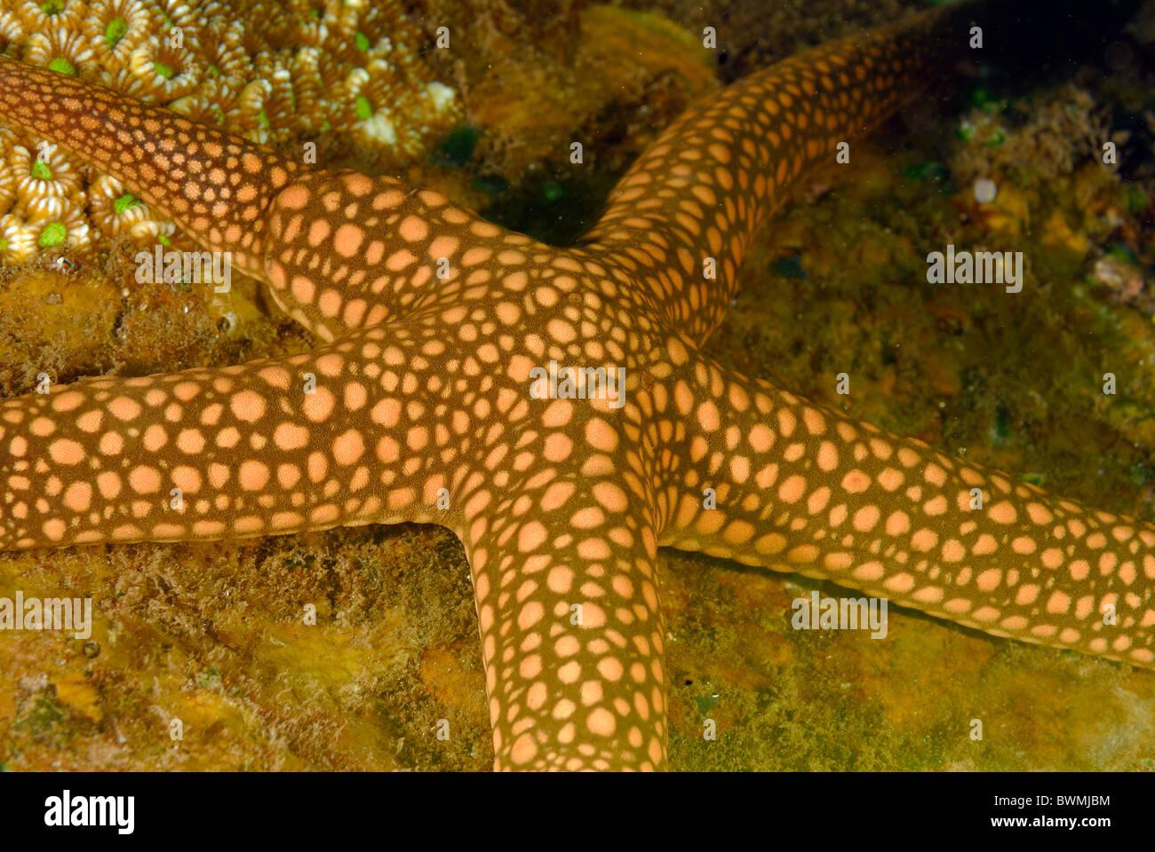 Yellow mesh sea star Nardoa novaecaledoniae, Bali, Indonesia, Tulamben - Stock Image