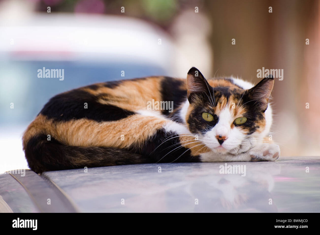 Cat lying on the roof of a parked car in Ermoupolis, on the Greek Cyclade island of Syros. - Stock Image