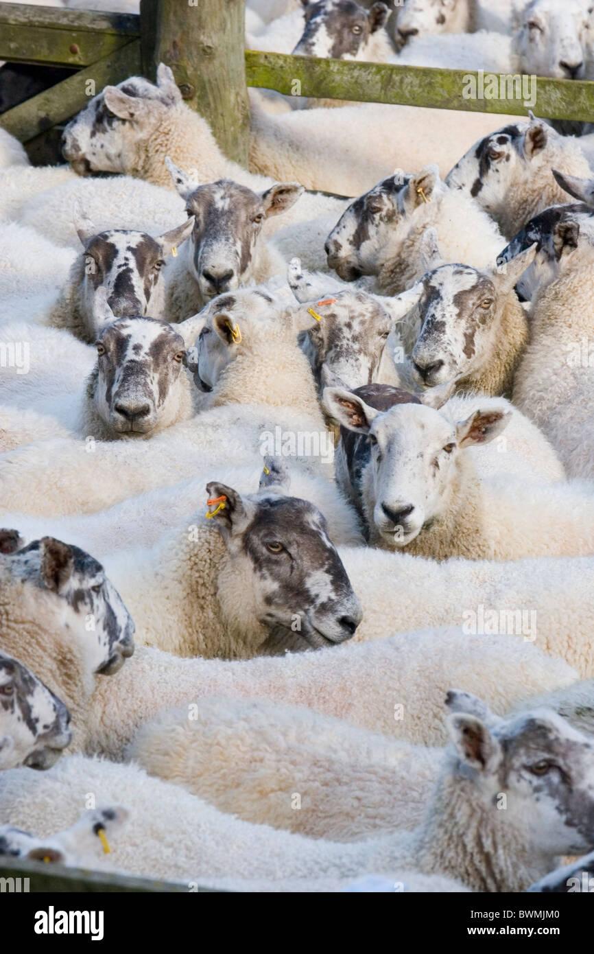 Sheep in a pen - Manor Vallley near Peebles, Scottish Borders - Stock Image