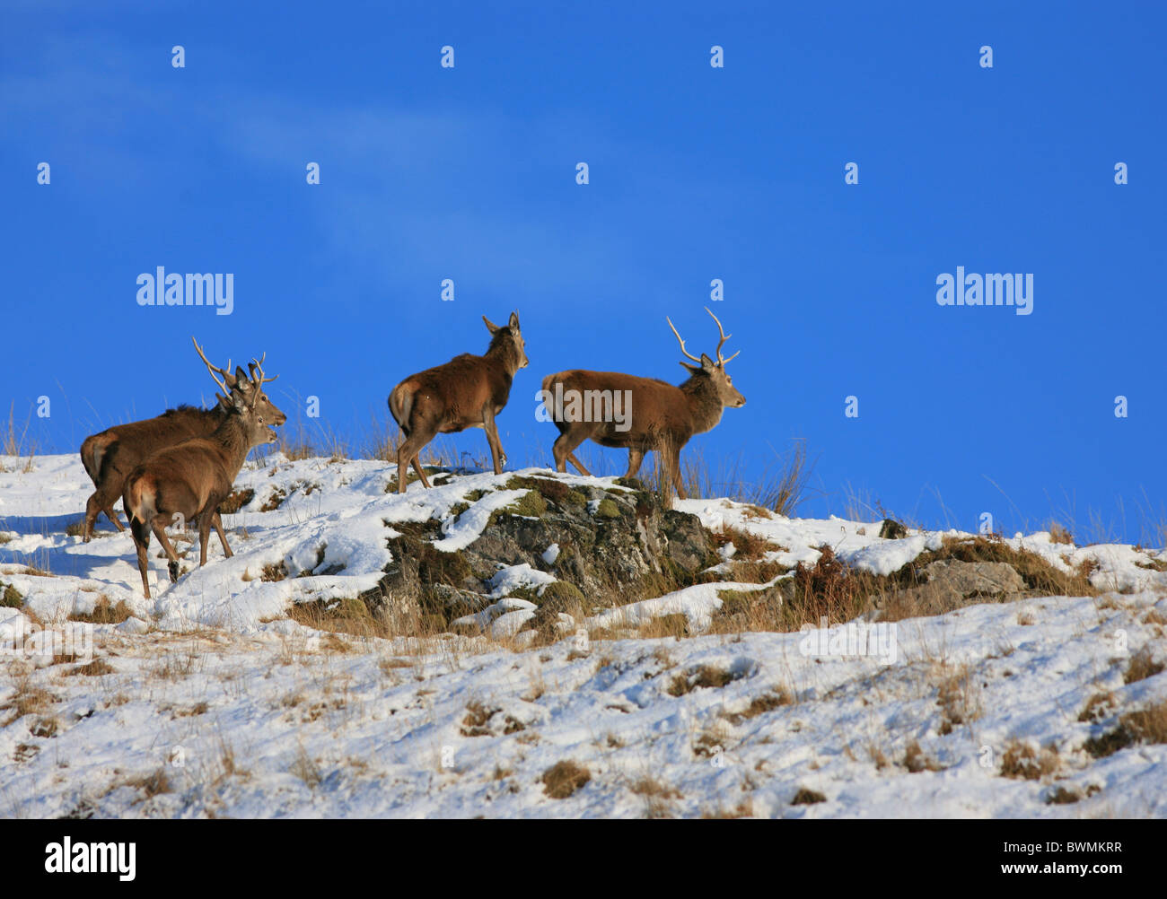 Red Deer Stags in the Scottish Highlands in winter - Stock Image