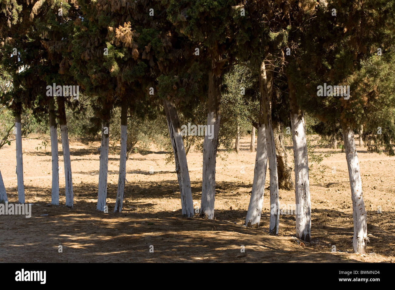 whitewashed conifer tree trunks along a road - Stock Image