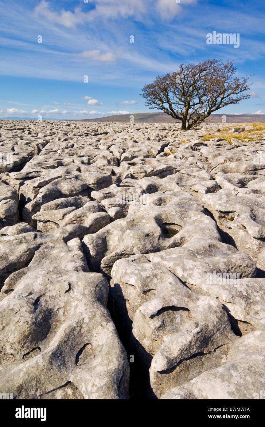 Tree growing through the Limestone Pavement at White Scars below Ingleborough North Yorkshire, England, GB, UK, Stock Photo