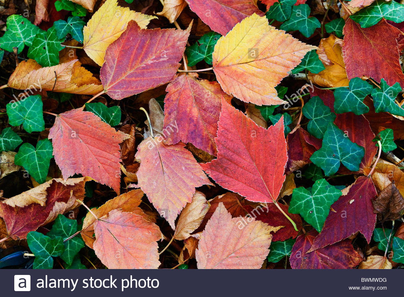 Autumn leaves, Fallen Acer rufinerve 'Hatsuyuki' leaves and Hedera - Stock Image