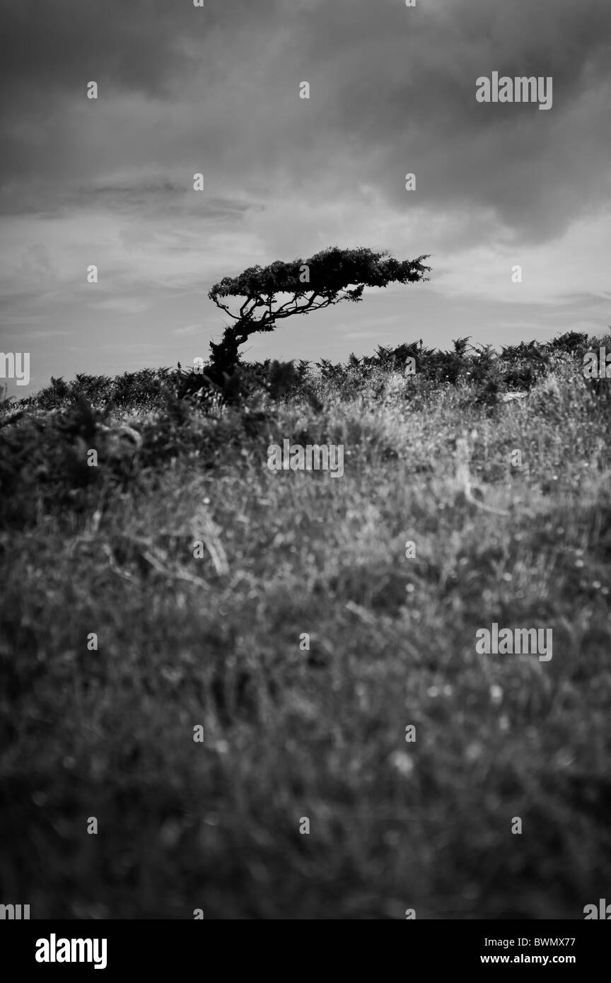 Ancient hawthorn tree showing the effects of the strong prevailing winds in the ancient iron age village of Bodrifty, - Stock Image