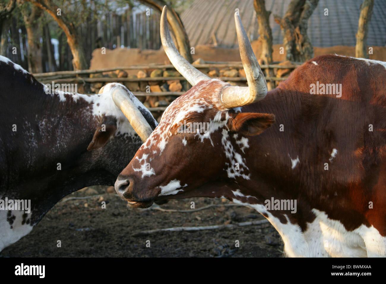 Nguni Cattle in a Kraal, Shakaland Zulu Village, Nkwalini Valley, Kwazulu Natal, South Africa. Stock Photo